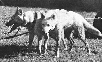 Als deze honden TE HARD en TE LANG gewerkt hebben, bestaat de kans dat ze niet goed eten vanavond of eventueel niet goed trainen morgen vanwege OVERVERHITTING